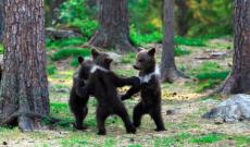 Fotógrafo capta a pequeños osos en extraño ritual de juego en los bosques de Finlandia